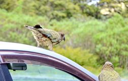 Ciekawski Kea na samochodzie fotografia royalty free