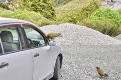Ciekawski Kea na samochodzie zdjęcia royalty free