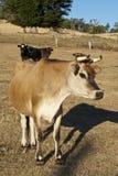 ciekawski krowa nabiał Obraz Stock