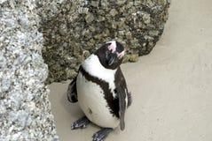 Ciekawski plażowy pingwin Zdjęcia Royalty Free