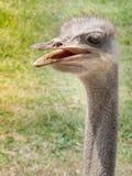 Ciekawski strusi ptak w zoo parku zdjęcie royalty free