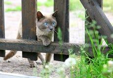 Ciekawy łowiecki młody błękitnooki kot Zdjęcie Stock