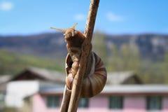 Ciekawy ślimaczek czołgać się w górę kija obraz royalty free