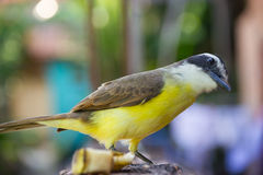 Ciekawy żółty ptak (Wielki Kiskedee) Zdjęcie Stock