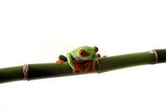 ciekawy żaby drzewo Zdjęcia Stock
