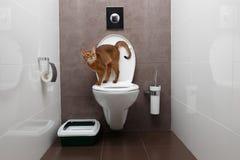 Ciekawy Abisyński kot używa toaletowego puchar Obrazy Stock