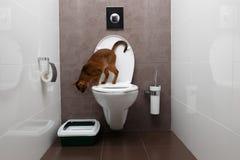 Ciekawy Abisyński kota obsiadanie na toaletowym pucharze i Patrzeć w dół Obrazy Royalty Free