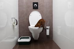 Ciekawy Abisyński kot Patrzeje w toaletowym pucharze Fotografia Royalty Free
