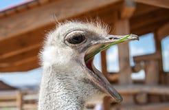 Ciekawy afrykański struś Fotografia Stock