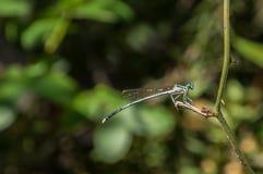 Ciekawy błękitny dragonfly na zielonym tle Zdjęcie Stock