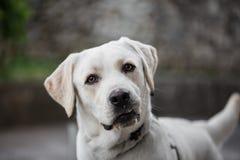 Ciekawy biały labradora pies obraz stock