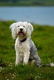 Ciekawy biały teriera pies obraz stock