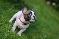 Ciekawy buldoga szczeniak lookuing up fotografia stock