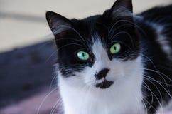 Ciekawy Czarny I Biały kot Obraz Stock