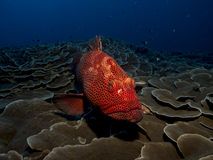 Ciekawy czerwony grouper Zdjęcia Stock