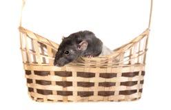 Ciekawy domowy szczur Obraz Royalty Free