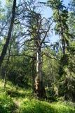 Ciekawy drzewo Fotografia Royalty Free
