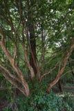 Ciekawy drzewo który otwiera Obraz Royalty Free