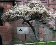 Ciekawy drzewo w ogródzie stary kasztel zdjęcie stock