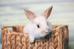 Ciekawy dziecko królik ono wpatruje się od kosza Obraz Royalty Free