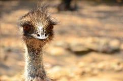 Ciekawy Emu Zdjęcia Stock