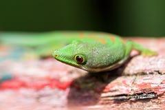 ciekawy gekon, zdjęcie royalty free
