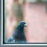 Ciekawy gruby gołąb Zdjęcia Stock