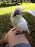 Ciekawy kakadu Obrazy Royalty Free