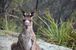 Ciekawy kangur w krzaku Obraz Stock