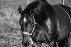 Ciekawy koń zdjęcia royalty free