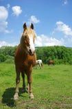 ciekawy koń Fotografia Royalty Free