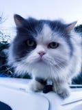 ciekawy kota Zdjęcia Royalty Free