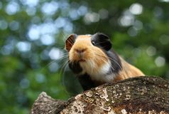 ciekawy królik doświadczalny Fotografia Stock