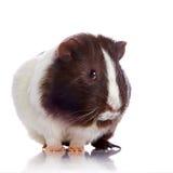 Ciekawy królik doświadczalny Obraz Stock