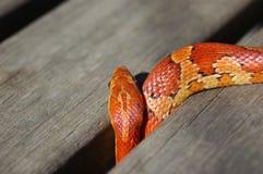 ciekawy kukurydziany wąż fotografia stock