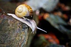 Ciekawy ślimaczek na kamieniu Zdjęcie Royalty Free
