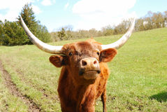 ciekawy longhorn Obraz Royalty Free