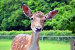 Ciekawy mały jeleni patrzejący kamerę fotografia royalty free