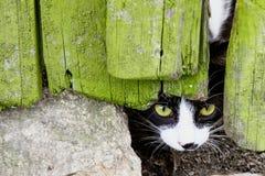 Ciekawy mały kot patrzeje podglądanie przez pęknięcia w łamającym krakingowym drewnianym drzwi z zielonymi oczami Obrazy Stock