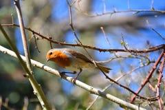 Ciekawy mały rudzik umieszczał na gałązce Obrazy Royalty Free