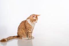 Ciekawy Maine Coon kota obsiadanie na Białym stole z odbiciem tło gulgocze biel Fotografia Royalty Free