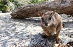 Ciekawy Mareeba Wallaby obrazy royalty free