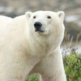 Ciekawy niedźwiedzia polarnego portret obrazy stock