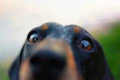 ciekawy pies Obraz Royalty Free