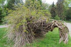 Ciekawy przegięty drzewo Zdjęcia Stock