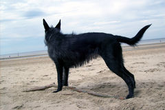 ciekawy psa do horyzontu Zdjęcie Royalty Free