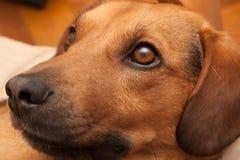 Ciekawy psi patrzeć Obraz Royalty Free