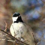 Ciekawy ptak Fotografia Royalty Free