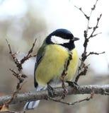 Ciekawy ptak Obraz Royalty Free