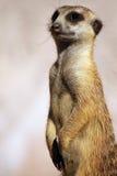 ciekawy suricate Fotografia Stock